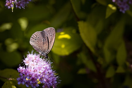 meadow brown butterfly on purple cluster flowers