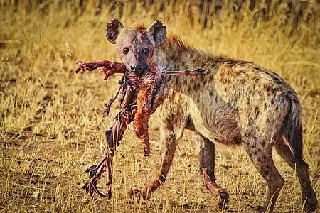 wolf eating animal beside green grass field