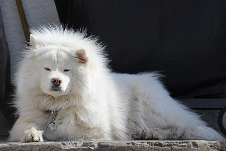 adult white Chowchow