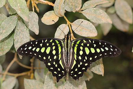 shallow focus photography of black and green butterfly