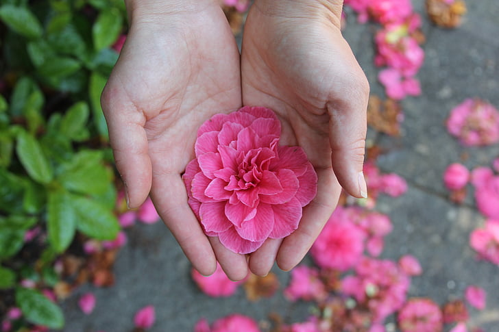 Royalty-Free photo: Person holding pink petaled flower during ...