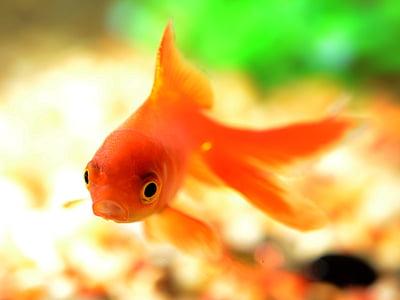 orange goldfish swimming in close-up photography