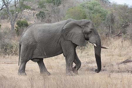 gray elephant walking on field