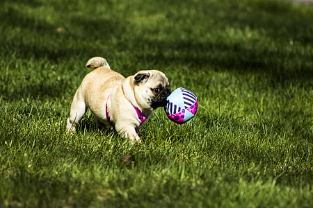 fawn pug playing ball on grass