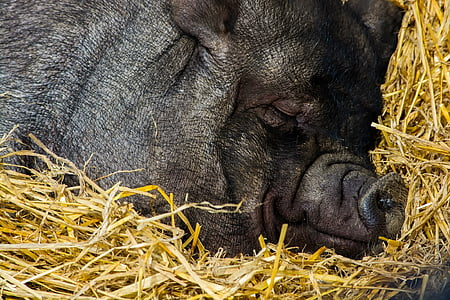 pig sleeping on hay