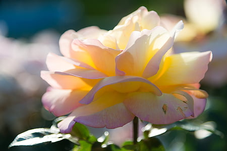 selective focus photography of pink and yellow rose flower