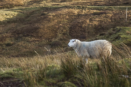 gray sheep on green grass