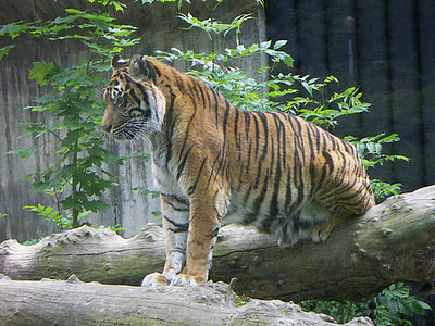 brown and black tiger standing on tree