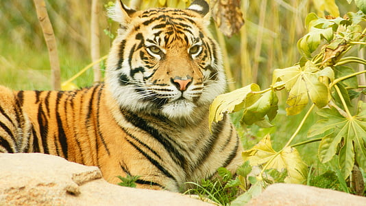 low-angle of resting tiger