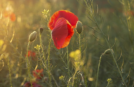 red poppy in bloom at sunset