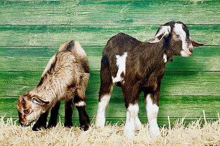 brown and tan Nubian goats