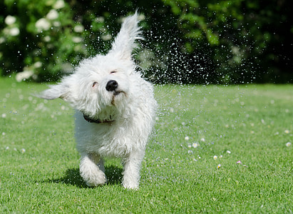 long-coated white puppy shaking his body while walking on green grass during daytime