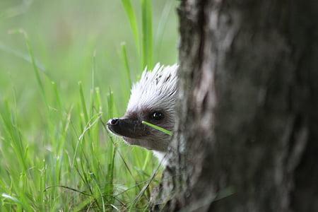 white hedgehog behind tree