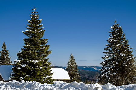 two pine trees cover by snow