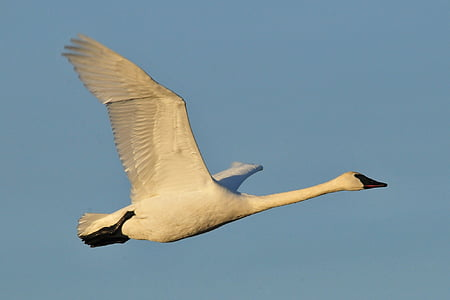 close-up photography of flying swan