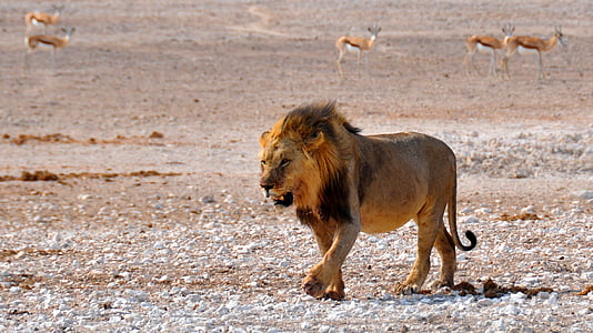 male lion near deer