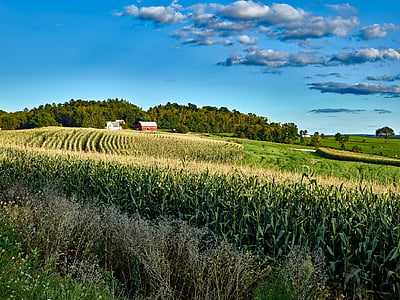 green cornfield under white clouds and blue sky