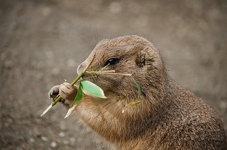 brown rodent eating leaf