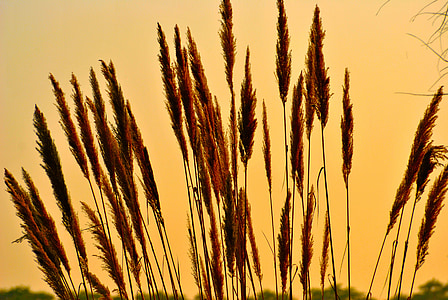 photo of brown wheat