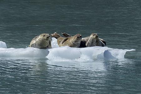 seals on drifting ice
