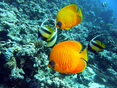 two angel fishes and orange fishes