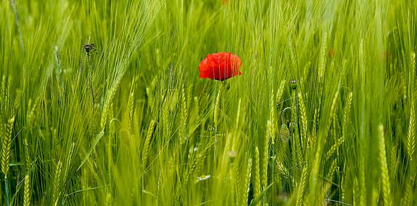 red poppy beside green grass at daytime