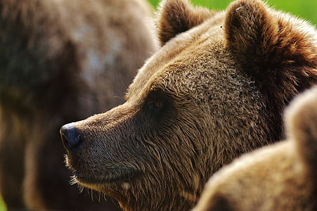 Wildlife photography of Grizzly bear