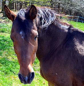 closeup photo brown horse