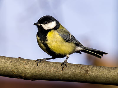 photo of yellow, white, and black bird on top of branch
