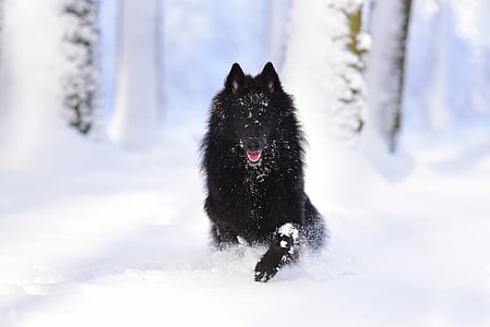 black wolf sits on snow covered field