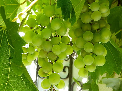 green grapes with green leaves