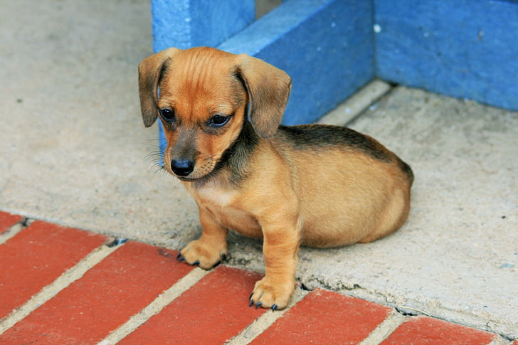 Royalty-Free photo: Black and tan dachshund puppy on gray floor