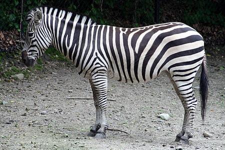 zebra standing on gray soil