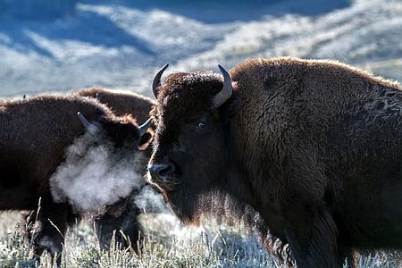 photo of brown buffalos