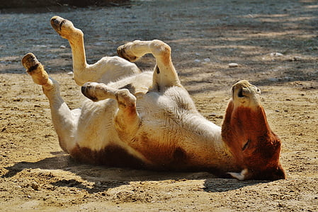 photo of brown calf cow laying on ground