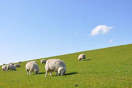 panoramic photography of group of sheep in the field