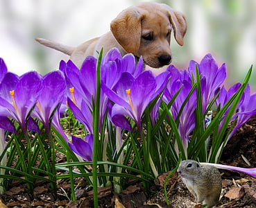 yellow Labrador retriever puppy and purple flower field at daytime
