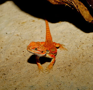 photo of orange bearded dragon
