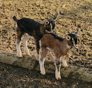 selective focus photography of two brown-and-black goat kids