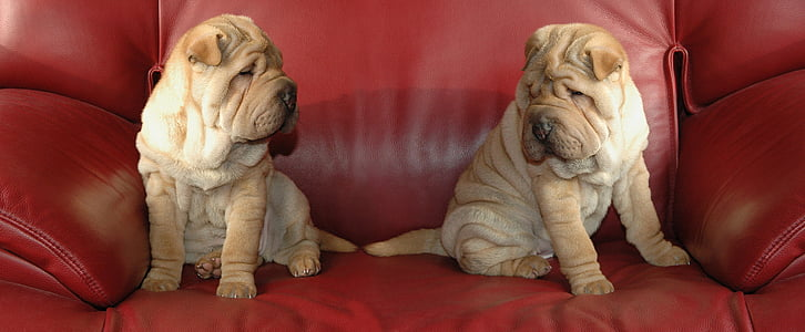 two Chinese Shar Pei puppies on the red sofa chair