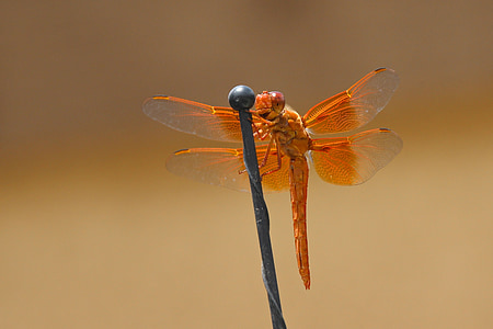 focused photo f orange dragonfly