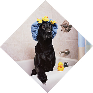 adult black Labrador retriever on white bathtub