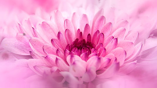pink chrysanthemum in bloom macro photo