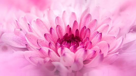 pink chrysanthemum in bloom macro photo