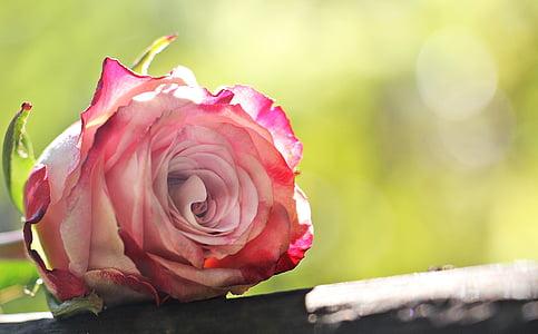 pink rose on gray slab