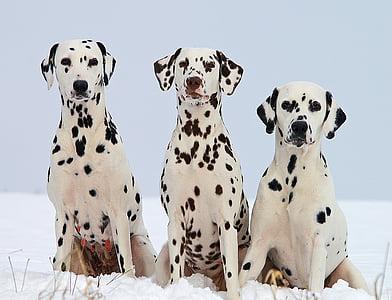 three adult black and white Dalmatians