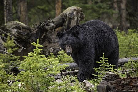 wildlife photgraphy of black bear