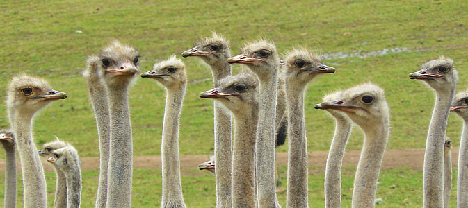 flock of ostrich on green grass field