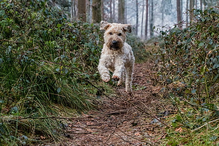 adult brown soft-coated wheaten terrier