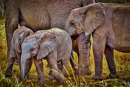 two brown elephant calves beside their parents at daytime